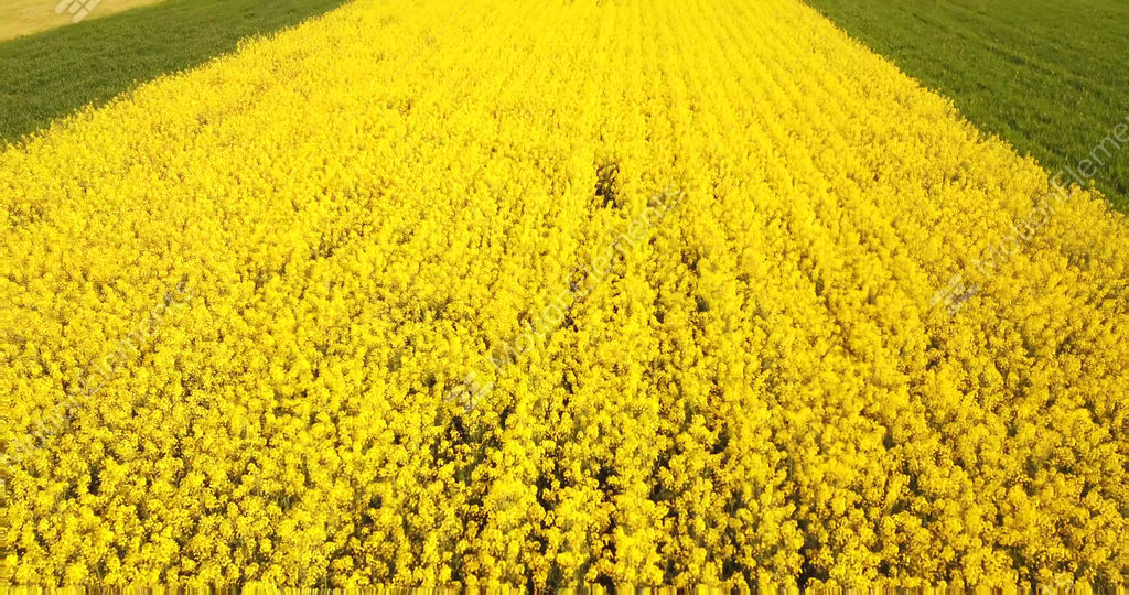 Field with yellow flowers of rapeseed in northern italy gif 11596744 field with yellow flowers of rapeseed in northern italy gif mightylinksfo